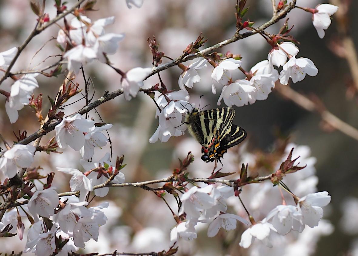 ギフチョウの桜どまり(2018年4月5日)_d0303129_429161.jpg