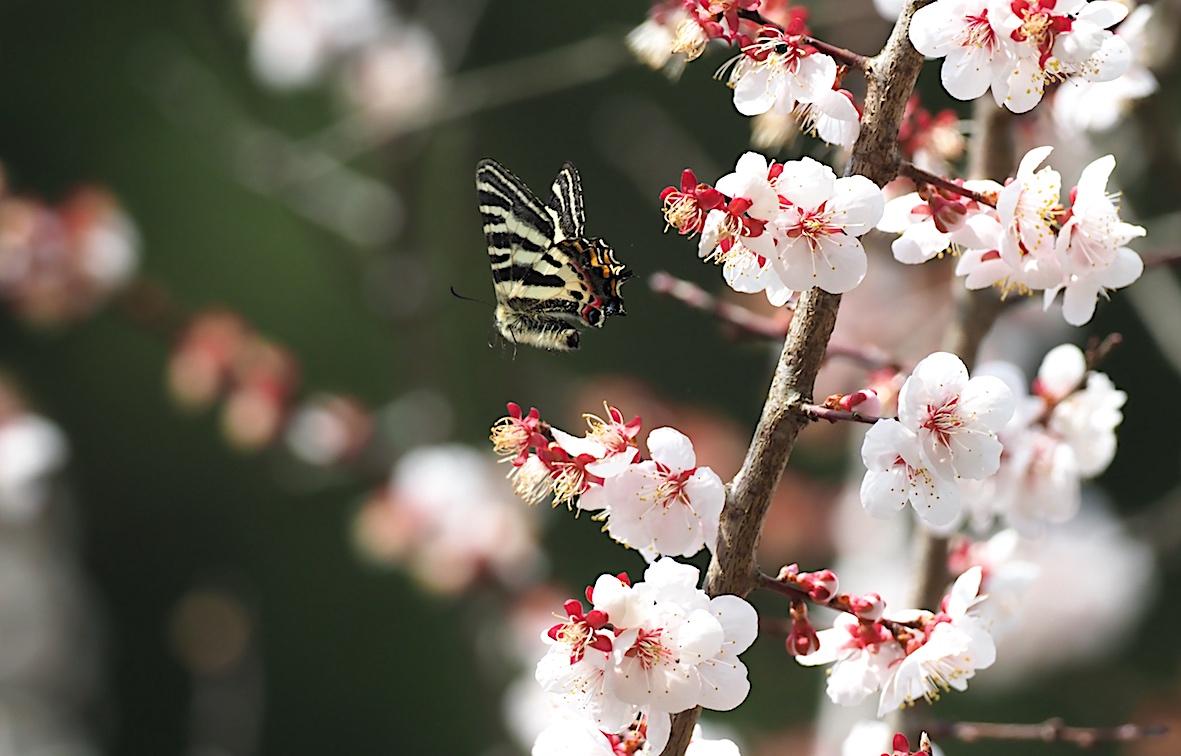 ギフチョウの桜どまり(2018年4月5日)_d0303129_4294145.jpg