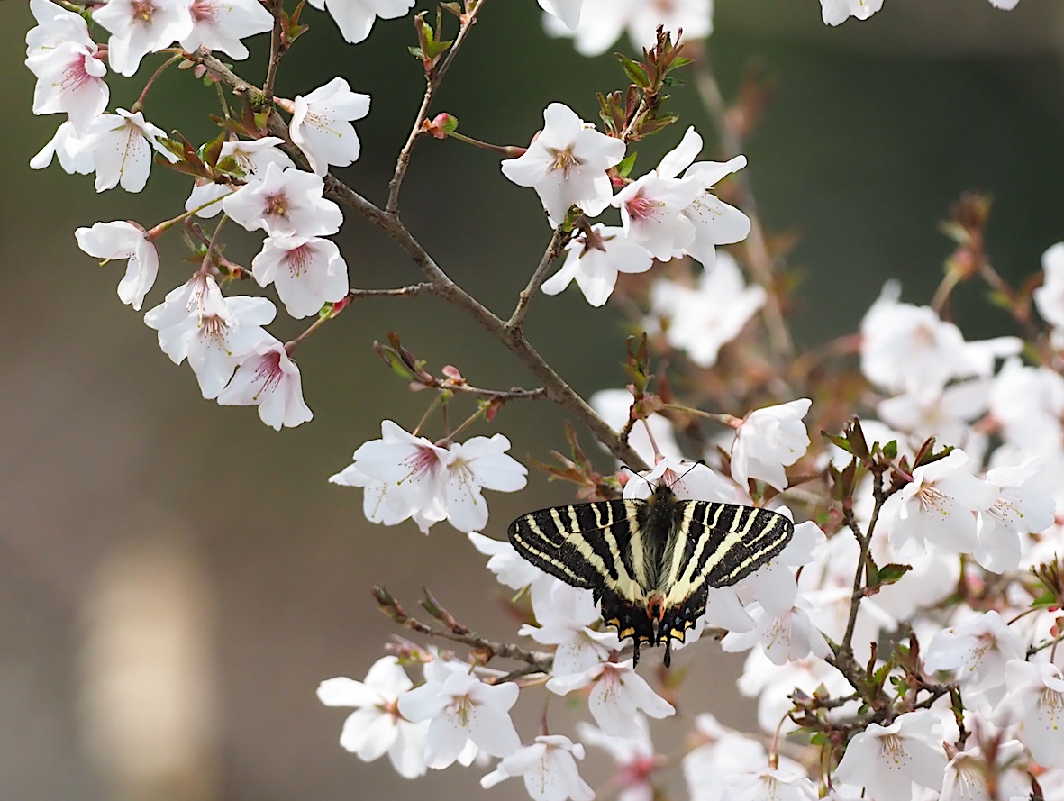ギフチョウの桜どまり(2018年4月5日)_d0303129_4302227.jpg