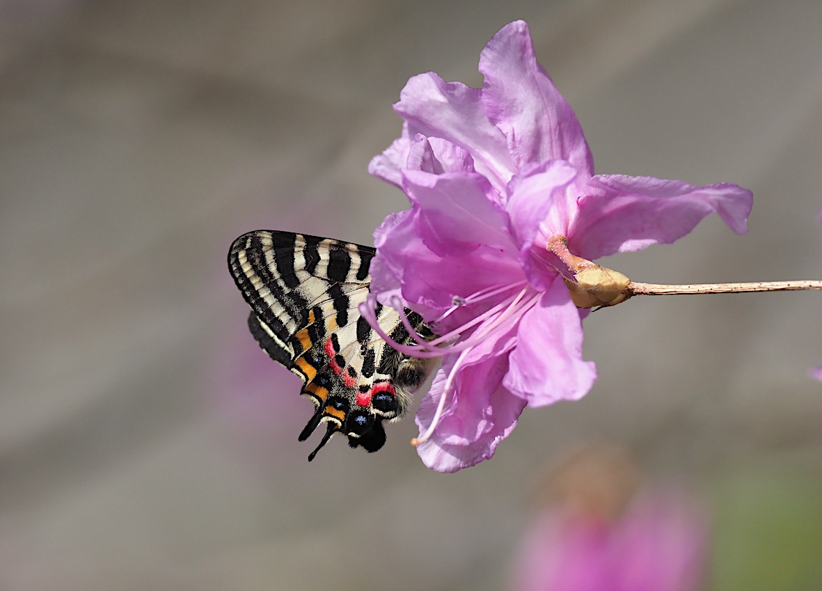 ギフチョウの桜どまり(2018年4月5日)_d0303129_430567.jpg