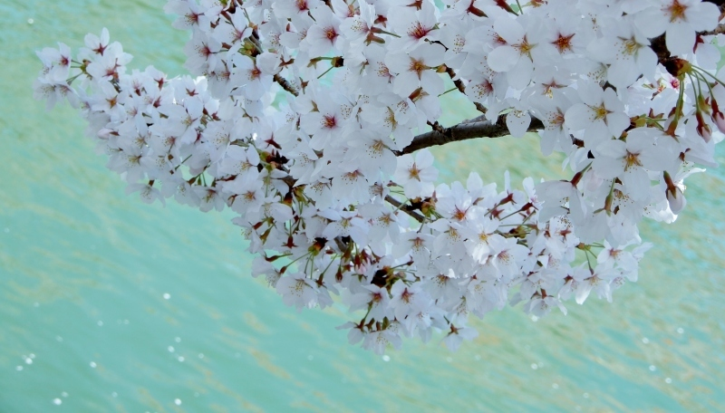 追憶の桜 * cherry blossoms in memories_f0374041_18114244.jpg