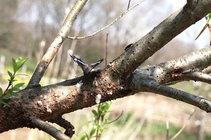 小さな木にルリタテハが_d0149245_23232318.jpg