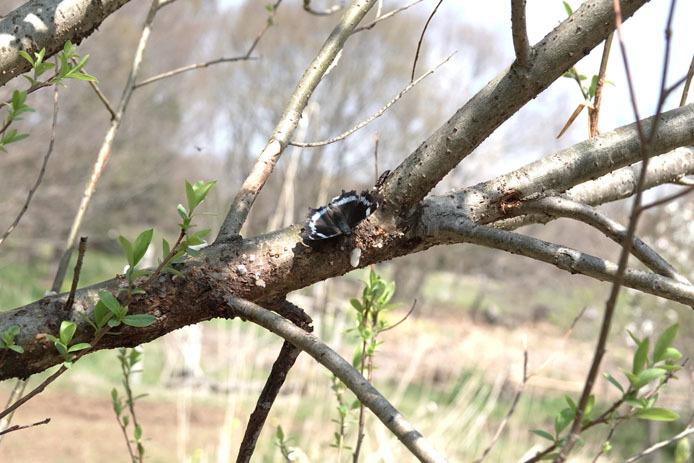 小さな木にルリタテハが_d0149245_23232717.jpg