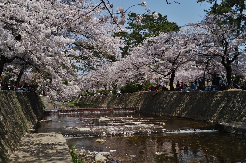 夙川公園の桜(7)夙川駅から苦楽園口駅へ_b0063958_23002297.jpg