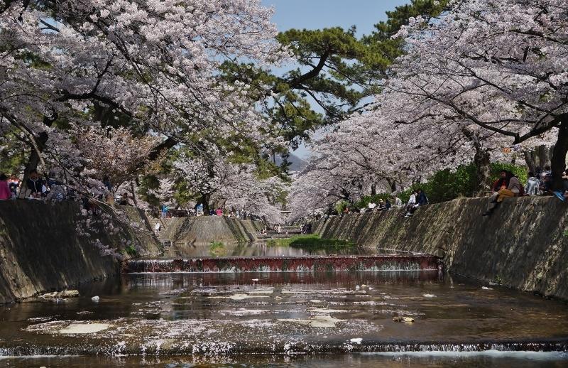 夙川公園の桜(7)夙川駅から苦楽園口駅へ_b0063958_23030633.jpg