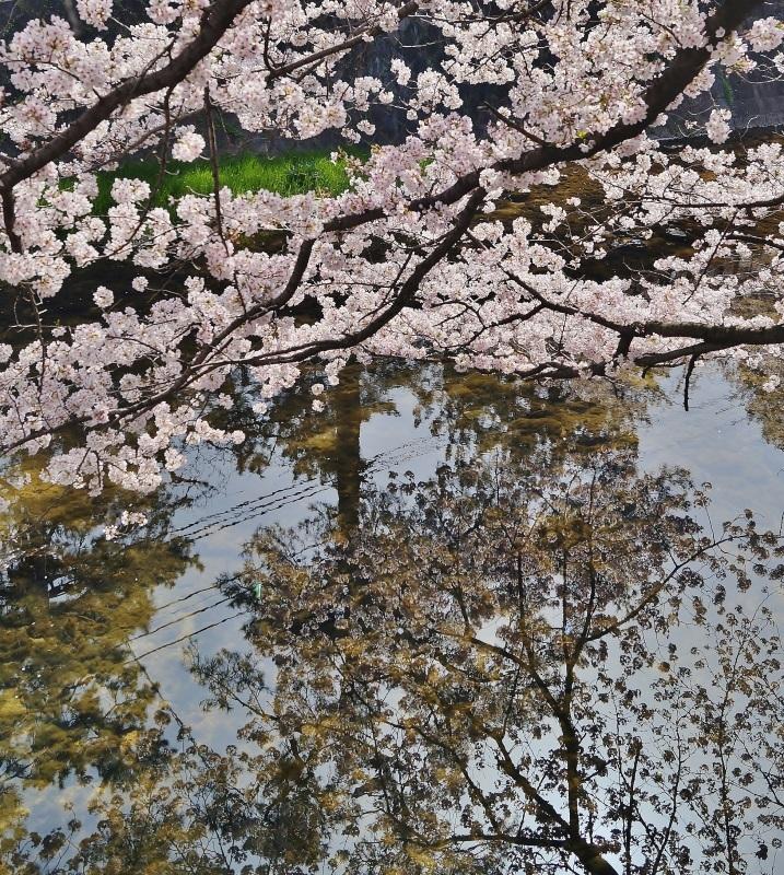 夙川公園の桜(7)夙川駅から苦楽園口駅へ_b0063958_23110081.jpg