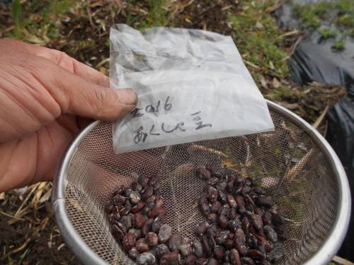スイートコーン、熊本なたまめ 種まきしました_e0181260_20111306.jpg