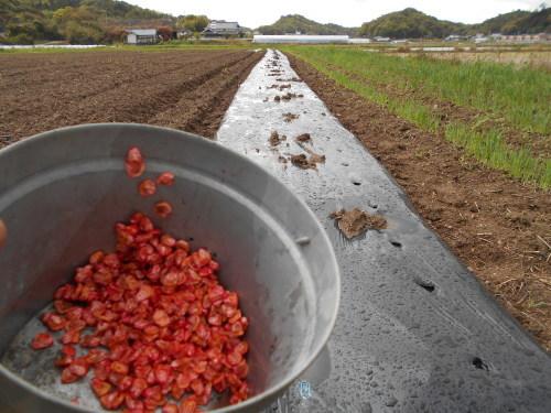 スイートコーン、熊本なたまめ 種まきしました_e0181260_20113677.jpg