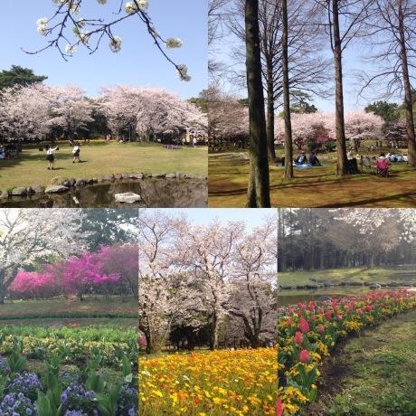 別府の桜スポット_d0069964_15134930.jpg