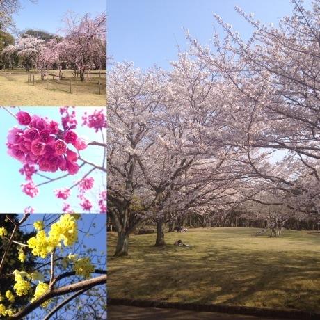 別府の桜スポット_d0069964_15202273.jpg