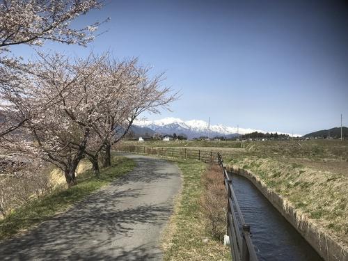 北アルプスと桜_c0218716_1875487.jpg