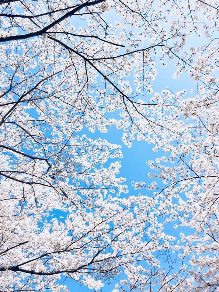 2018桜日記.1_f0206741_08032201.jpg