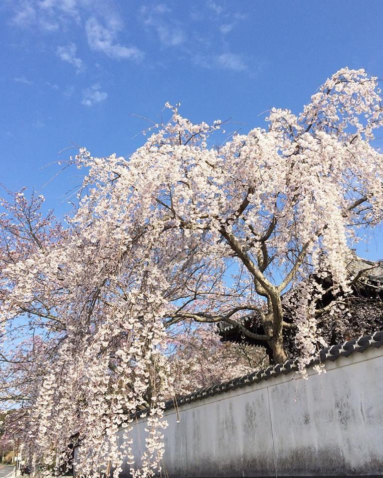 2018桜日記.1_f0206741_08280873.jpg