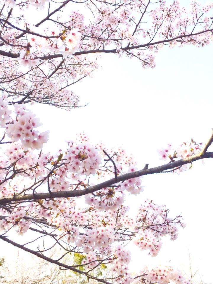 2018桜日記.1_f0206741_08325012.jpg