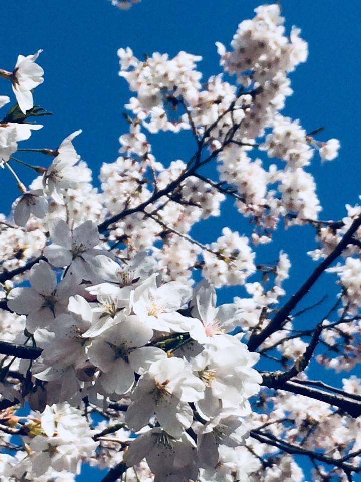 2018桜日記.1_f0206741_08471272.jpg