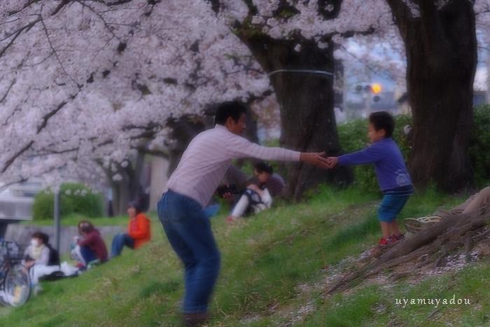 高野川の桜.散歩_a0157263_20402068.jpg