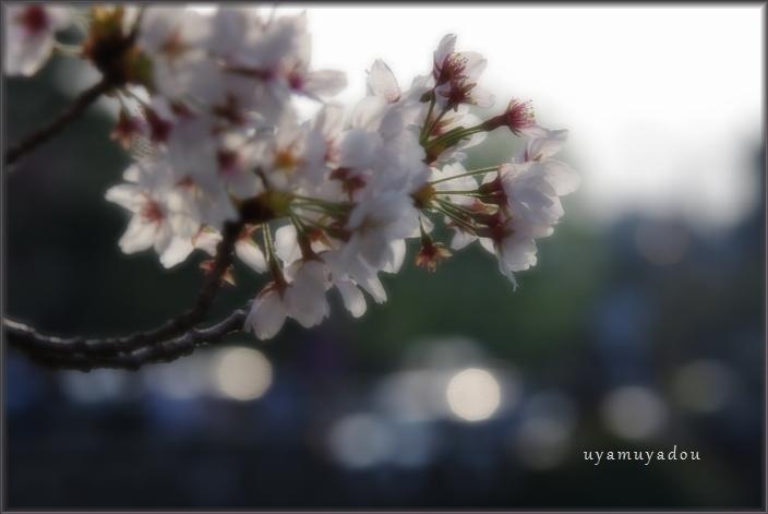 高野川の桜.散歩_a0157263_20402089.jpg
