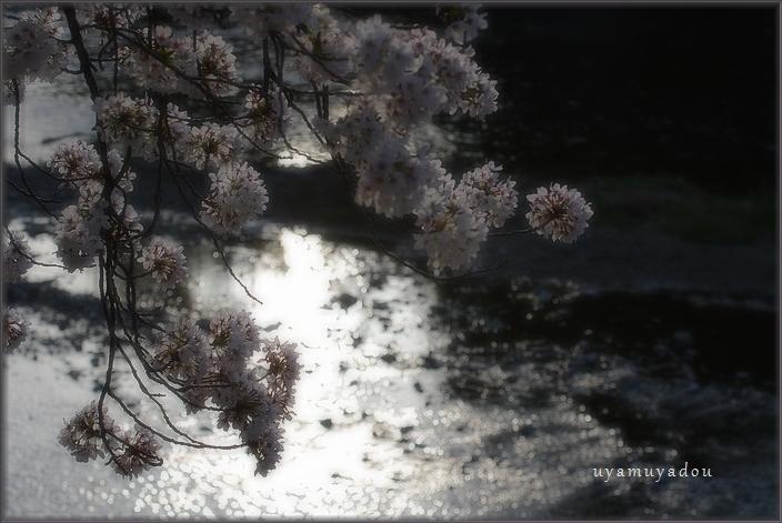 高野川の桜.散歩_a0157263_20402097.jpg