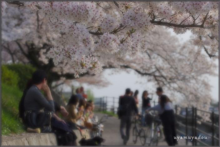 高野川の桜.散歩_a0157263_20402127.jpg