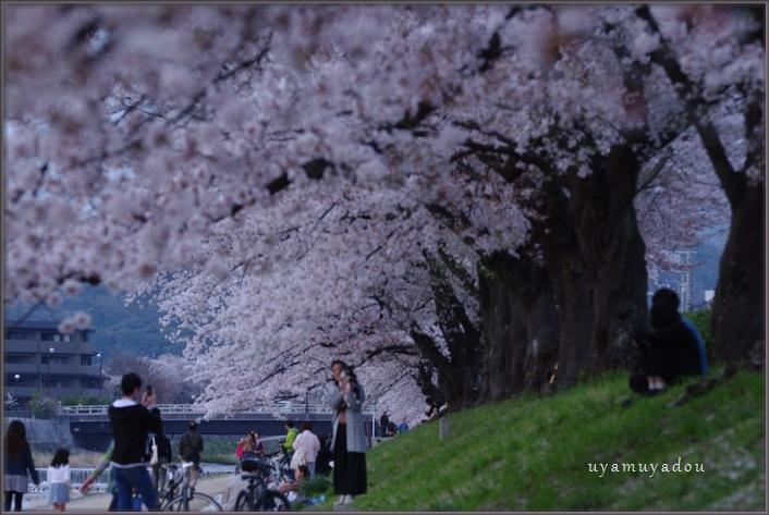 高野川の桜.散歩_a0157263_20493396.jpg
