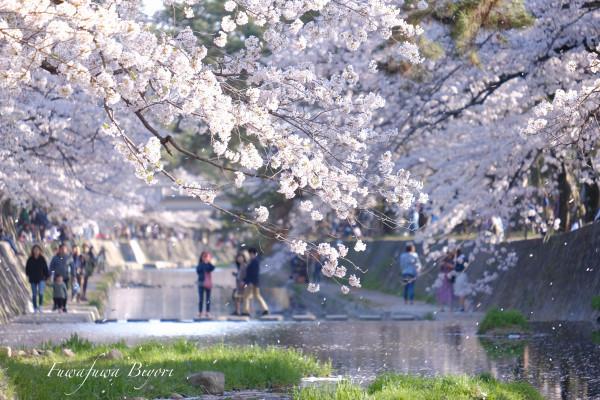まだ桜を **_d0344864_21012057.jpg