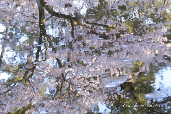 まだ桜を **_d0344864_21012631.jpg