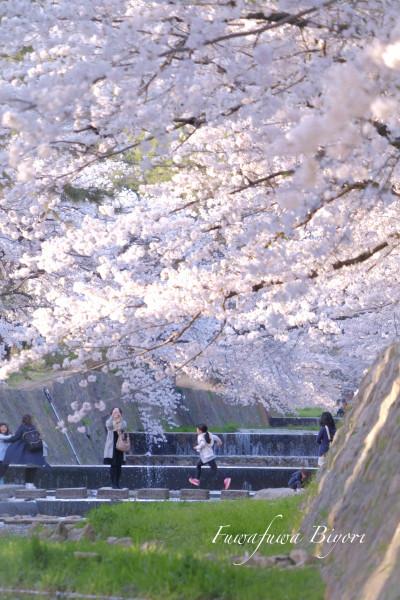 まだ桜を **_d0344864_21013670.jpg