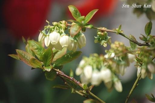 ブルーベリーの花  2018年4月7日_a0164068_23371267.jpg