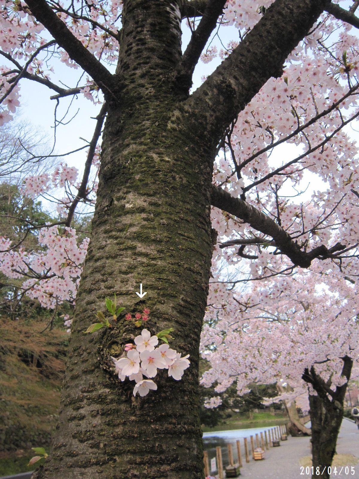 桜だより❀ 満開です❀ (4月7日 追記あり)  _a0207574_09215916.jpg