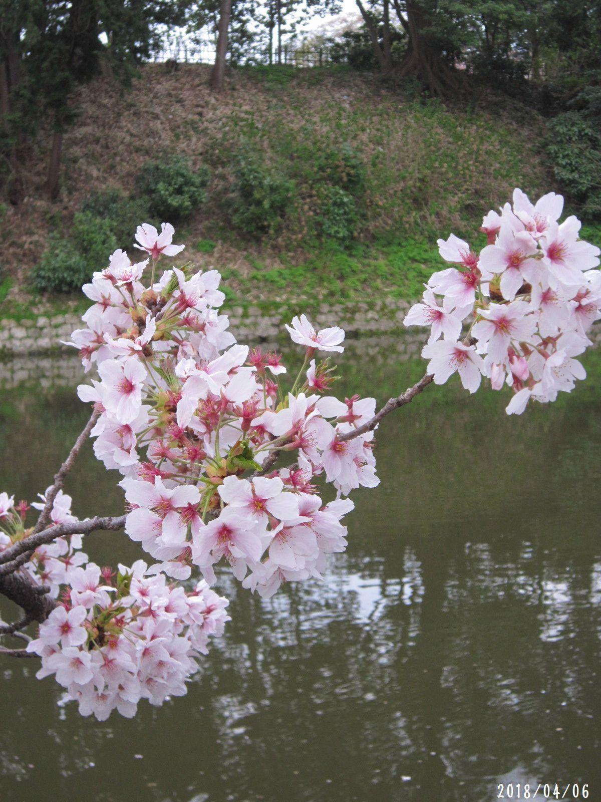 桜だより❀ 満開です❀ (4月7日 追記あり)  _a0207574_09281950.jpg