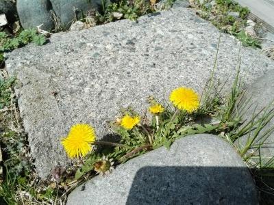 黄色い花_c0289116_21241666.jpg