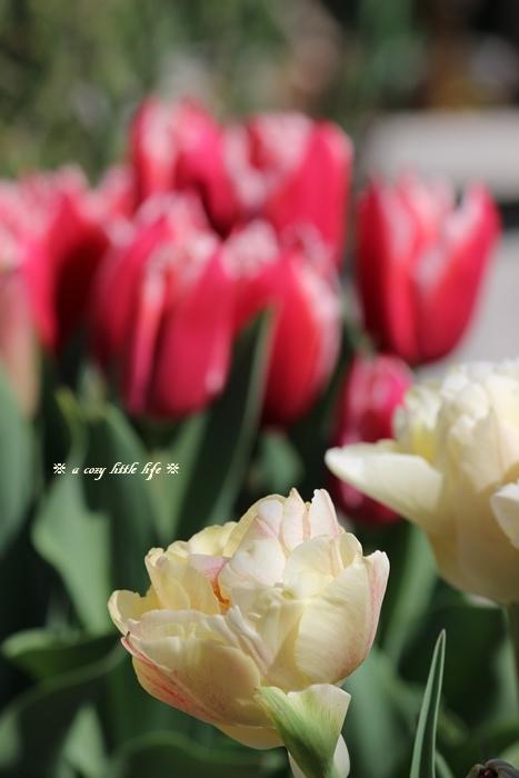 チューリップが咲き始めました。_c0250917_20310111.jpg