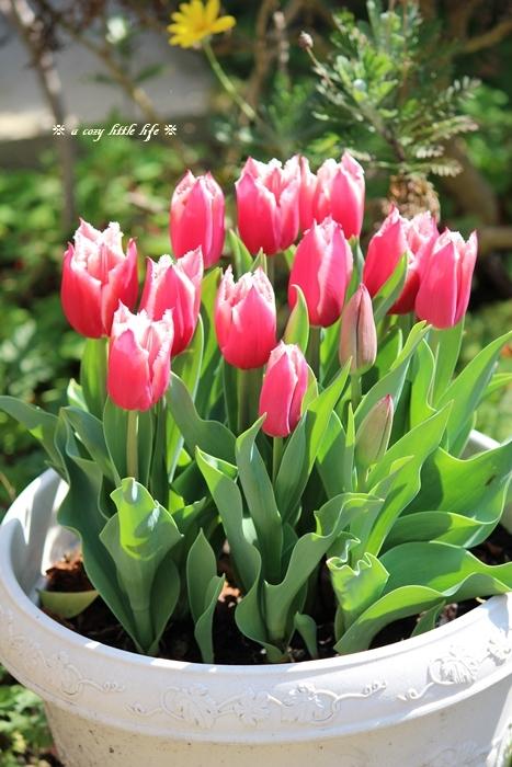 チューリップが咲き始めました。_c0250917_20310642.jpg