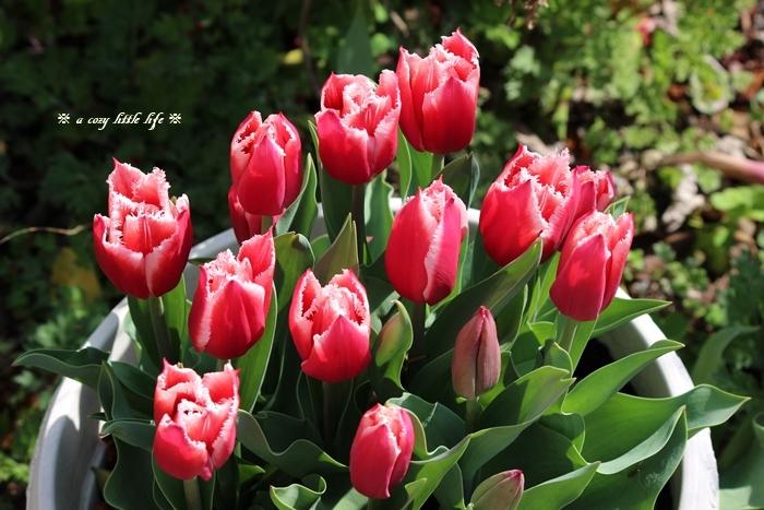 チューリップが咲き始めました。_c0250917_20311078.jpg