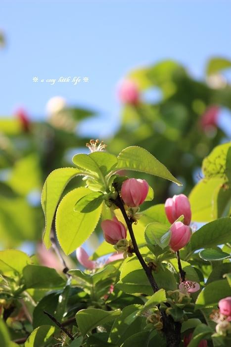 カリンの花_c0250917_20311936.jpg
