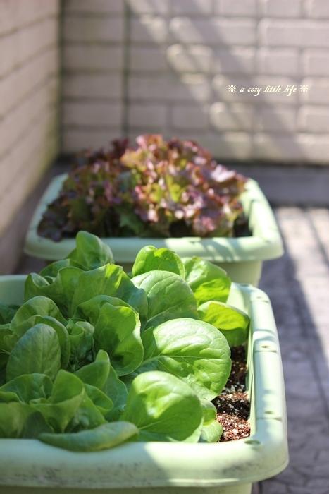 ベランダ菜園 と ハンドメイドの可愛いお花_c0250917_20314719.jpg