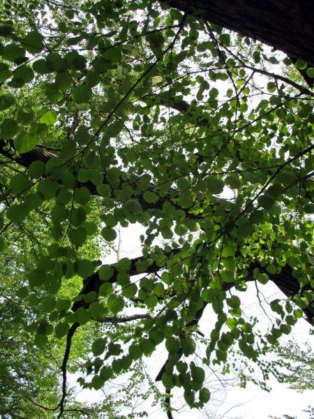 春の新宿御苑で桂の木をみつけた!_d0145934_18185000.jpg
