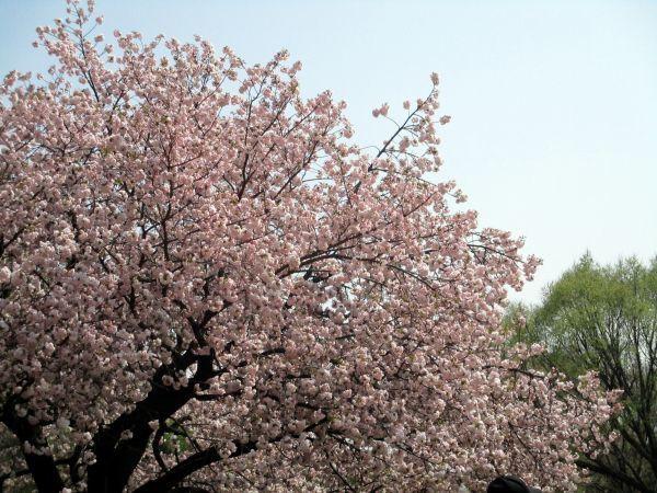 春の新宿御苑で桂の木をみつけた!_d0145934_18245725.jpg