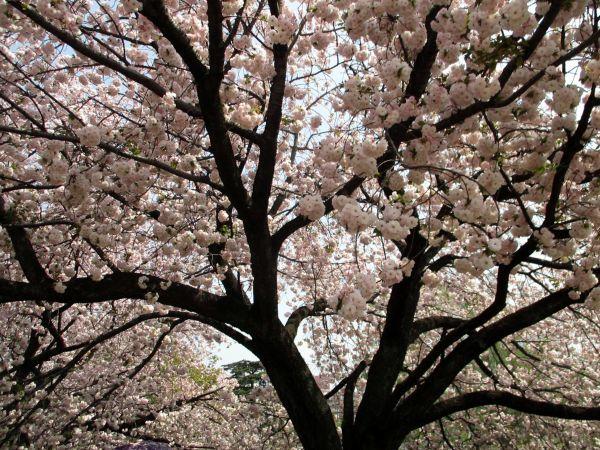 春の新宿御苑で桂の木をみつけた!_d0145934_18251226.jpg