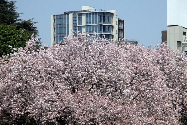 春の新宿御苑で桂の木をみつけた!_d0145934_18254373.jpg
