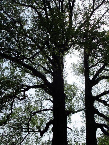 春の新宿御苑で桂の木をみつけた!_d0145934_18261939.jpg