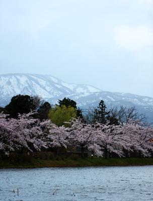 上越高田公園の夜桜_a0303951_13533721.jpg