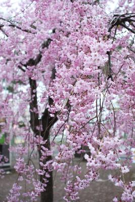 上越高田公園の夜桜_a0303951_13534555.jpg