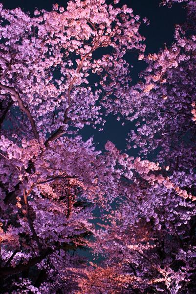 上越高田公園の夜桜_a0303951_14164194.jpg