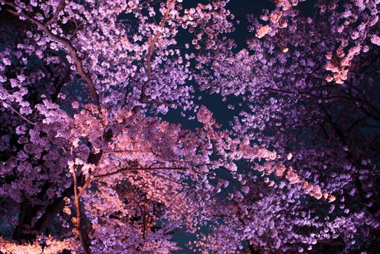 上越高田公園の夜桜_a0303951_14271671.jpg