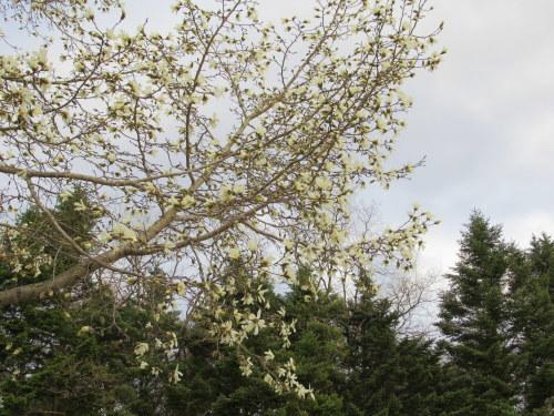 4月8日*軽井沢の桜 ~ 春限定*いちごかもめの玉子_f0236260_19401980.jpg