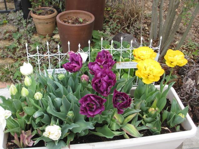 プランターのチューリップが咲きだしました_a0243064_08171834.jpg
