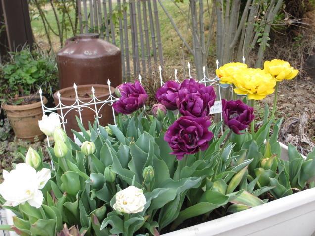 プランターのチューリップが咲きだしました_a0243064_08173143.jpg