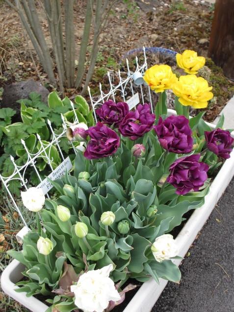 プランターのチューリップが咲きだしました_a0243064_08175167.jpg