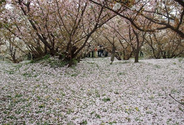 仁和寺の御室桜と御殿_a0131787_15321332.jpg